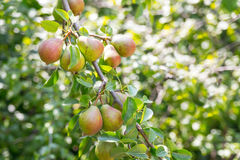 Ripe pears on a branch in the garden. Ripe and juicy pear fruit on the branch in the garden Royalty Free Stock Photo