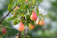 Ripe pears Royalty Free Stock Photo