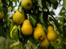 Ripe pears Royalty Free Stock Photography