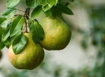 Ripe pears closeup Stock Images