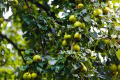 Ripe pears hanging on green tree in orchard royalty free stock images