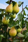 Pear tree. Ripe pears hanging in orchard Stock Photography