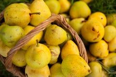 Ripe pears  in  heap Stock Photos
