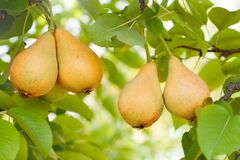 Ripe pears on tree. Beautiful ripe pears on branch Stock Photos