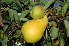 Ripe pears on tree. Royalty Free Stock Image