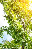 Ripe pears on tree branch. royalty free stock image