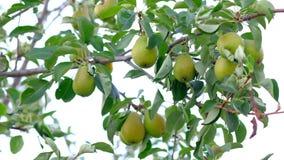 Ripe pears on tree in garden. Steadycam shoot - ripe pears on tree in the garden. 4k. Concept of gardenings stock video