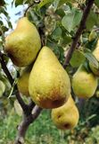 Ripe pears on a tree in the orchard Royalty Free Stock Photos