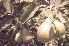 Ripe pears on the tree in an orchard; retro style with sepia filter Royalty Free Stock Photo