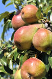 Ripe pears on a tree in the orchard Stock Photos