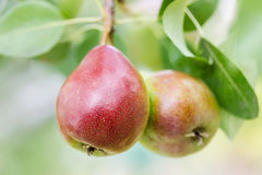 Ripe pears on a tree outdoors, close-up. Royalty Free Stock Images