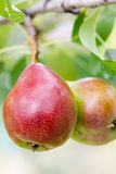 Ripe pears on a tree outdoors, close-up. Stock Images