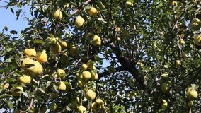 Ripe pears on a tree. Lit by the bright sun stock footage