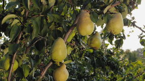 Ripe pears on a tree stock footage