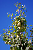 Ripe pears on a tree 4 Royalty Free Stock Images