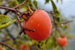 Ripe persimmon in autumn Stock Photography