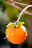 Ripe persimmon fruit on tree. Ripe orange persimmon fruit on branch of tree royalty free stock images