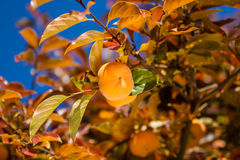 Ripe persimmon fruit on the tree Royalty Free Stock Photos