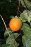 Ripe Persimmon fruit on a tree Royalty Free Stock Photography