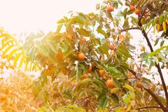 Persimmon fruits on a tree. Ripe persimmon fruits on a tree royalty free stock image