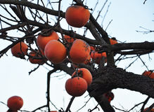 Ripe persimmon (kaki) fruits on a tree branch Stock Image