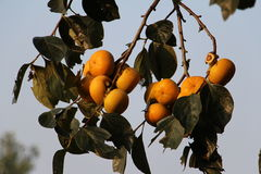 Ripe persimmon in the mid-autumn Stock Photography