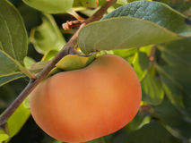 Ripe persimmon on tree. Ripe persimmon hanging on tree among foliage. Closeup shot royalty free stock image