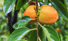 Ripe persimmon on a tree in the rain Stock Photos