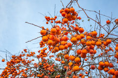 Ripe persimmon on a tree in winter Royalty Free Stock Photo