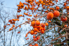 Ripe persimmon on a tree in winter Royalty Free Stock Photos