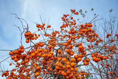 Ripe persimmon on a tree in winter Royalty Free Stock Image