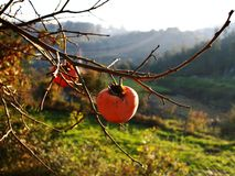 Ripe persimmons hanging from the branches of the tree on a sunny September day. Green meadows and lots of light at dawn Royalty Free Stock Image