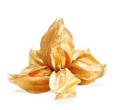 Ripe physalis  isolated on white background. Ripe physalis in the form of flower  isolated on white background Stock Photography