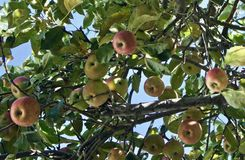 Ripe for picking. An apple tree with ripe apples ready to pick Stock Photography
