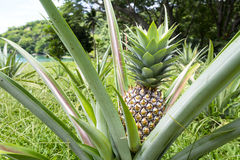 Ripe pineapple plant. A ripe, healthy pineapple plant growing wild outside of a small Asian village royalty free stock photography