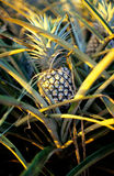 Ripe pineapple on a plantation on the island of Oahu, Hawaii Royalty Free Stock Photo