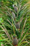 Ripe pineapple on the tree in the garden royalty free stock image