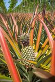 Ripe pineapples growing on the bush Royalty Free Stock Photos