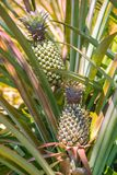 Ripe pineapples growing on the bush Royalty Free Stock Image