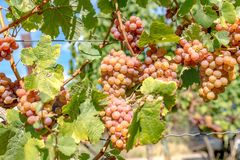 Ripe pink grapes hanging in the sun on the bush stock image
