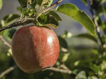 Ripe pink lady apple variety on a apple tree at South Tyrol in Italy. Harvest time stock photo