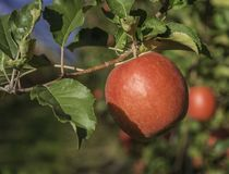 Ripe pink lady apple variety on a apple tree at South Tyrol in Italy. Harvest time. Selective focus.  stock photos