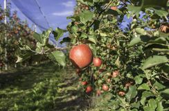 Ripe pink lady apple variety on a apple tree at South Tyrol in Italy. Harvest time. Selective focus.  stock image
