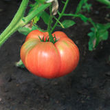 Ripe pink tomato on plant  in greenhouse Stock Photos