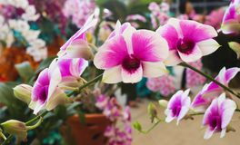 Ripe pink and white orchid flowers with green leaf in the gar Stock Photos