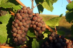 Ripe Pinot Gris Grapes. Ripe clusters of Pinot Gris grapes illuminated my morning light Stock Image