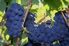 Ripe Pinot Noir Grapes. Deep blue clusters of ripe Pinot Noir grapes Stock Image