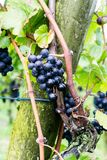 Ripe pinot noir grapes hanging on grapevines. In a vineyard in the Swiss Alps near Maienfeld and ready for being harvested and being made into wine Stock Photos