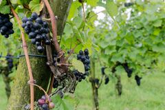 Ripe pinot noir grapes hanging on grapevines. In a vineyard in the Swiss Alps near Maienfeld and ready for being harvested and being made into wine Royalty Free Stock Photos