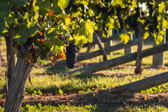 Ripe Pinot Noir grapes on vine in vineyard in autumn. Closeup of ripe Pinot Noir grapes on vine in vineyard in autumn Royalty Free Stock Images